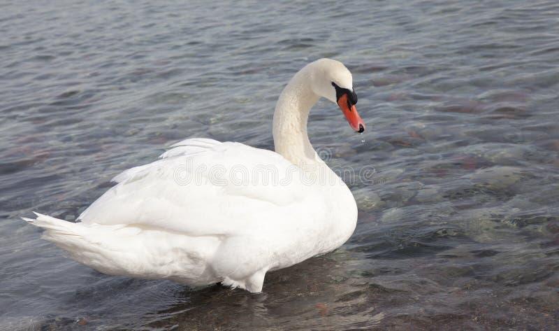 Niemy łabędź, Cygnus olor, pojedynczy ptak na wodzie fotografia royalty free