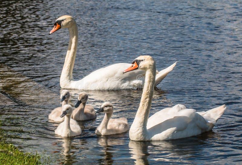 Niemy łabędź Familiy z dwa dorosłego i cztery łabędziątek obraz royalty free