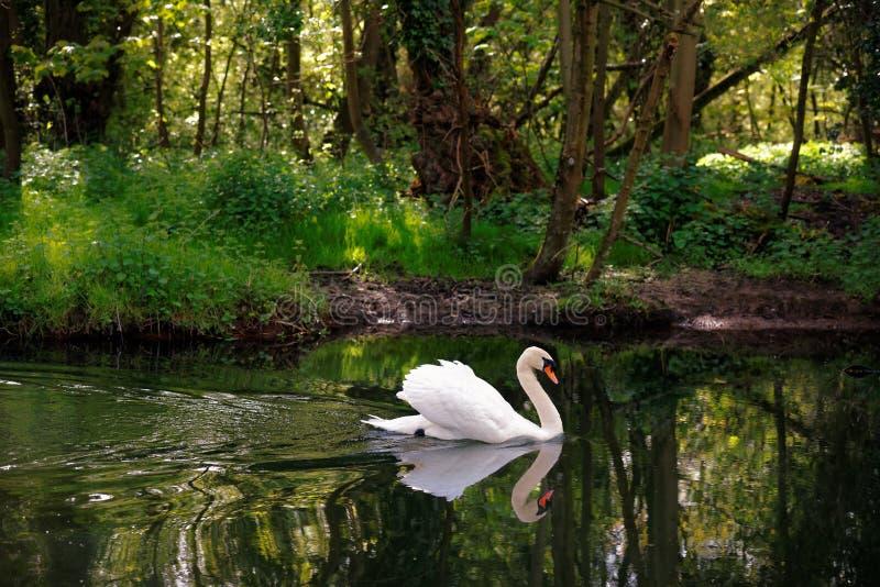 Niemy łabędź na rzece z lasem obrazy stock