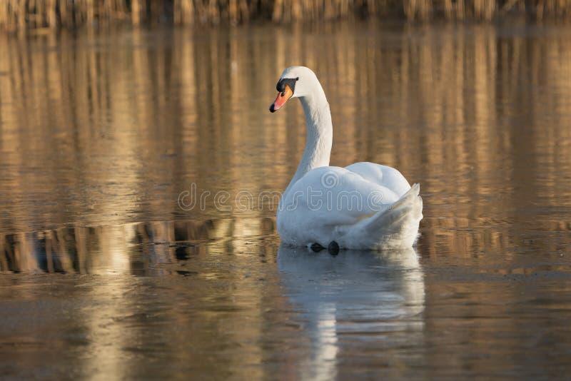 Niemy łabędź na zamarzniętym jeziorze fotografia royalty free