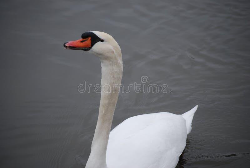 Niemy łabędź Pływa Na jeziorze zdjęcie royalty free