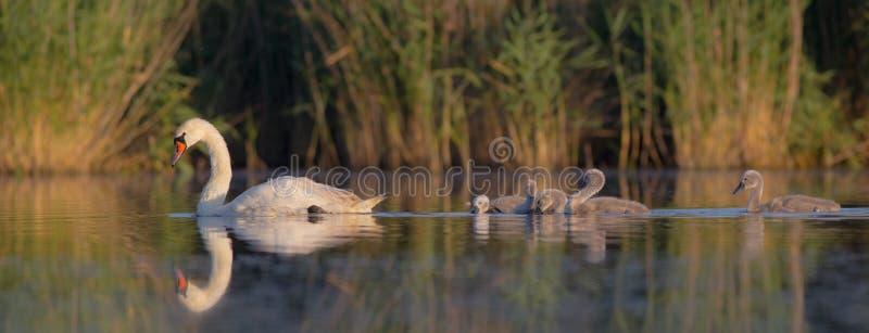 Niemy łabędź rodzina - Cygnus olor - fotografia stock