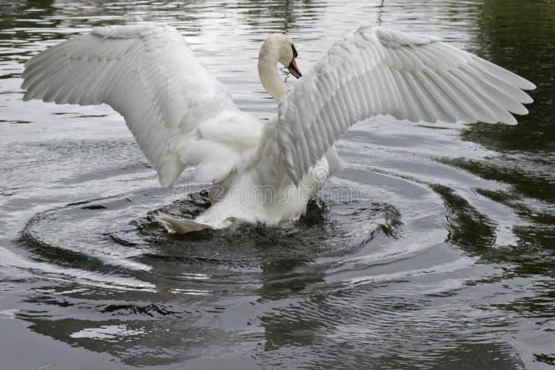 Niemy łabędź rozciąga swój skrzydła obraz stock