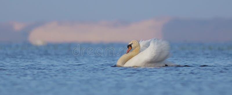 Niemy łabędź samiec - Cygnus olor - fotografia royalty free