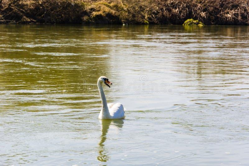 Niemy łabędź unosi się na rzece (Cygnus olor) obrazy stock