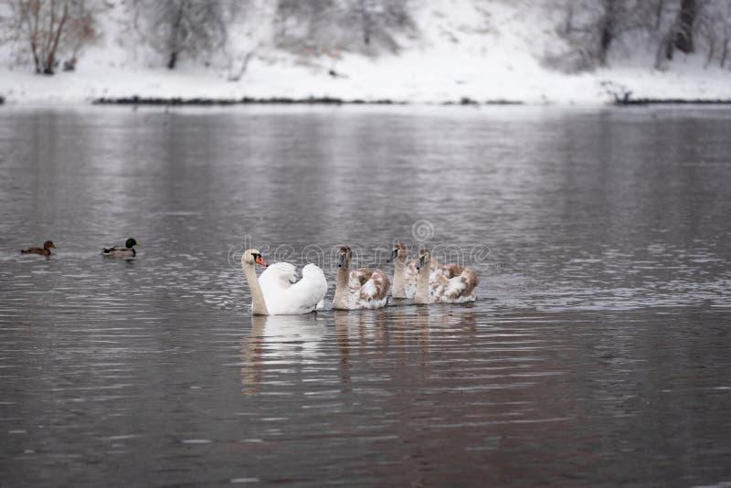 Niemy łabędź z łabędziątkami w rzecznym zima krajobrazie obrazy royalty free