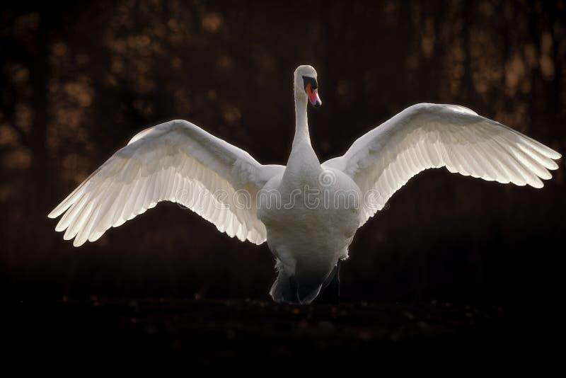 Niemy łabędź z skrzydłami Rozprzestrzeniającymi fotografia royalty free