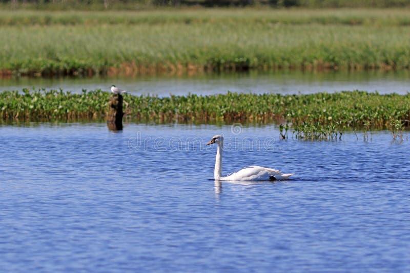 Niemy ?ab?d? p?ywa na jeziorze na Yamal p??wysepie zdjęcie royalty free