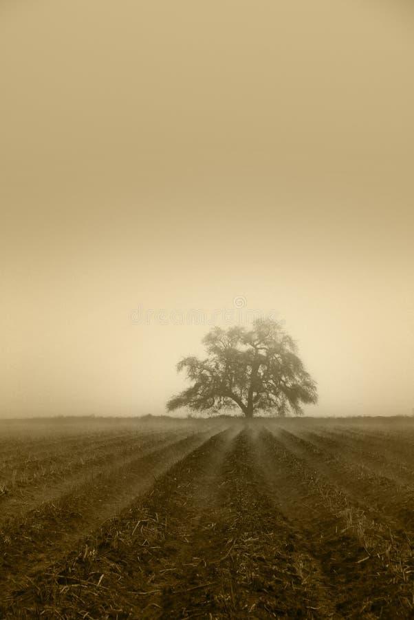 niemy dębowy drzewo zdjęcie stock