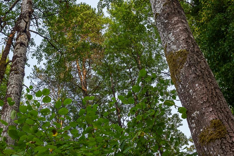 niemy niebieskie niebo z zieleń liśćmi i wieloskładnikowymi drzewnymi bagażnikami zdjęcie royalty free