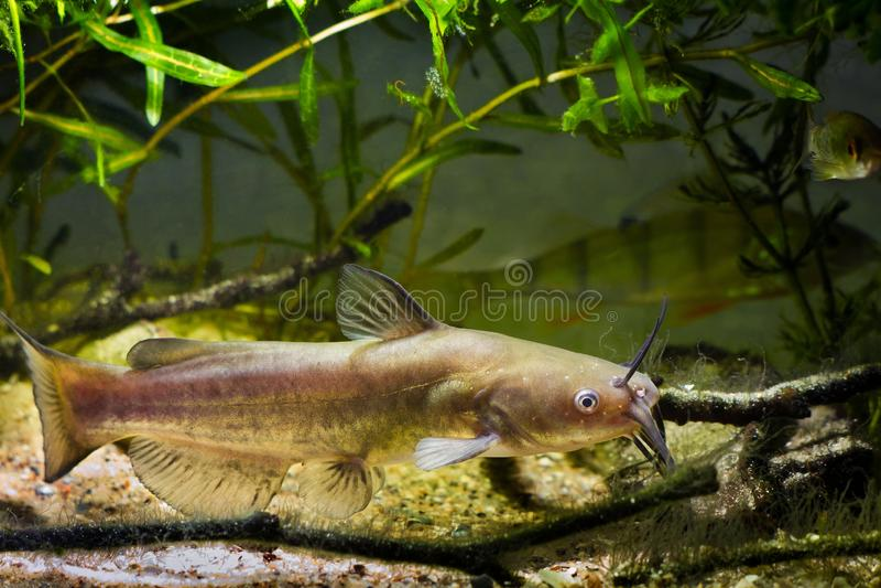 Nienażartego słodkowodnego drapieżnika Korytkowy sum, Ictalurus punctatus w Europejskiej zimnej wody biotopu rzecznym akwarium zdjęcia royalty free