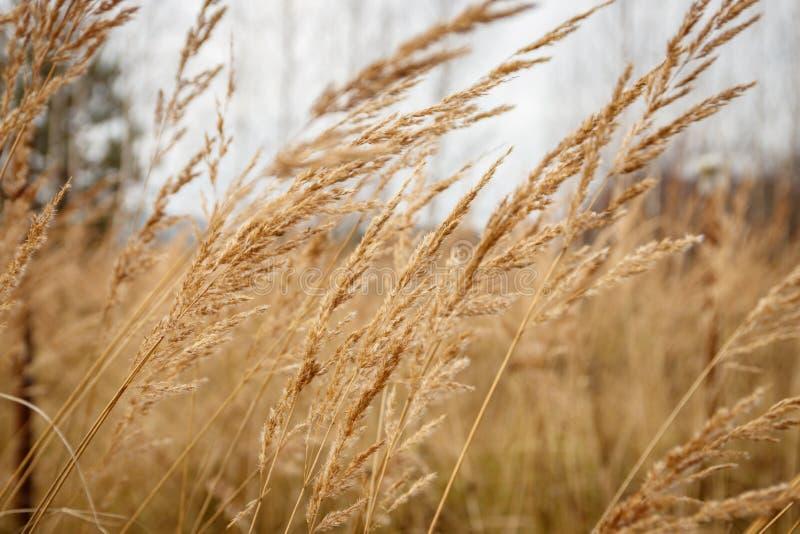 Nieociosany jesieni trawy chlanie od wiatru zdjęcie royalty free