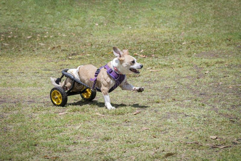 Niepełnosprawny psa bawić się zdjęcie royalty free