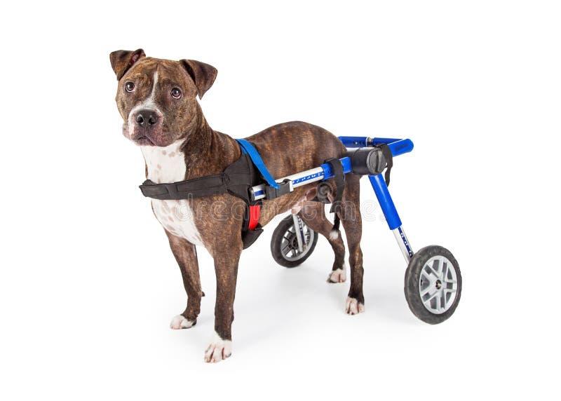 Niepełnosprawny Staffordshire Bull Terrier pies W wózku inwalidzkim obrazy royalty free