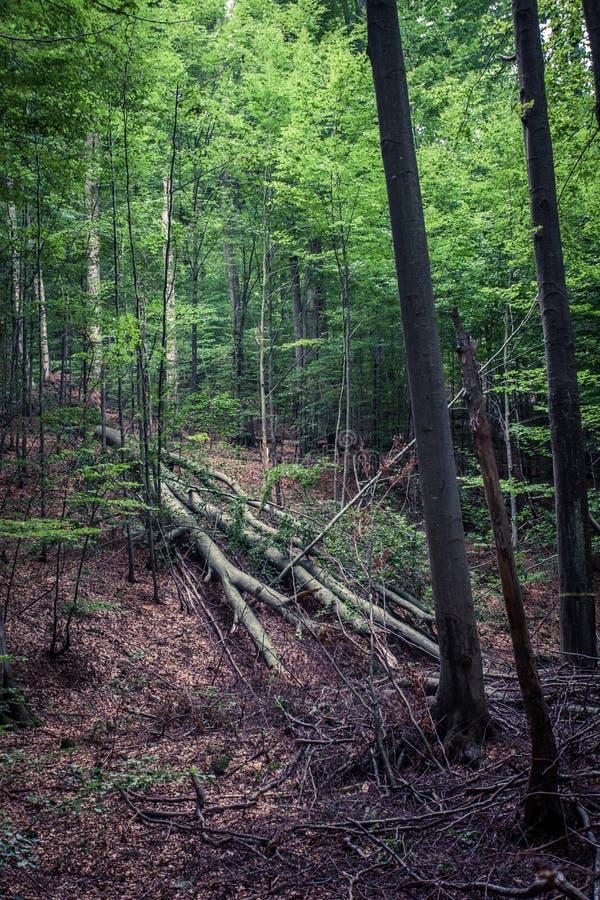 Nieporuszony rezerwata przyrody Vinatovaca tropikalny las deszczowy w Serbia zdjęcia stock