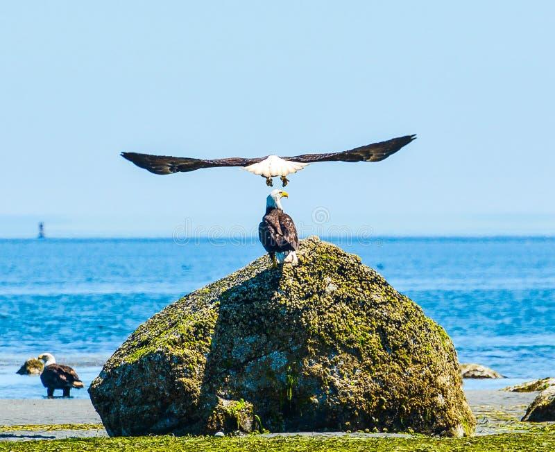 Nieprawdopodobni Eagle rozszerzania się skrzydła zdjęcie royalty free