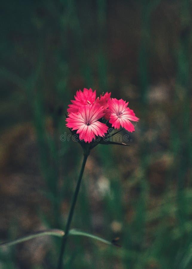 Nieprawdopodobny kolor: różowy kwiat zdjęcie royalty free
