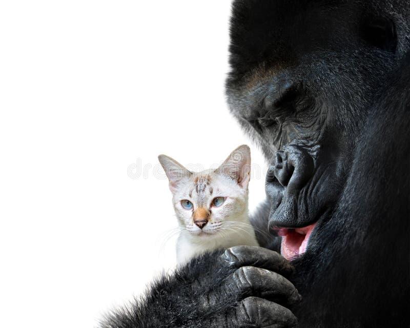 Nieprawdopodobny zwierzęcy przyjaciela moment, kochający uściśnięcie między dużym gorylem i małym kotem zdjęcia royalty free
