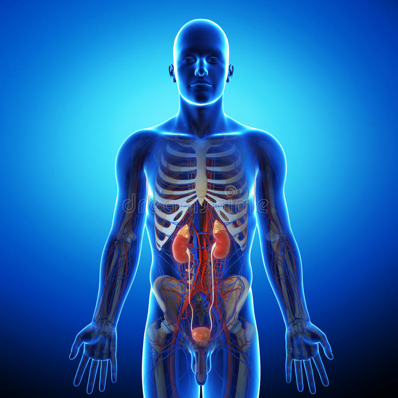 Niere mit menschlichem urinausscheidendem System stock abbildung