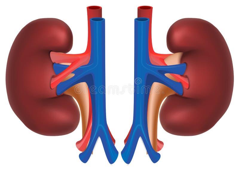 Nieren van gezonde persoon Kijk binnen menselijk lichaam royalty-vrije illustratie