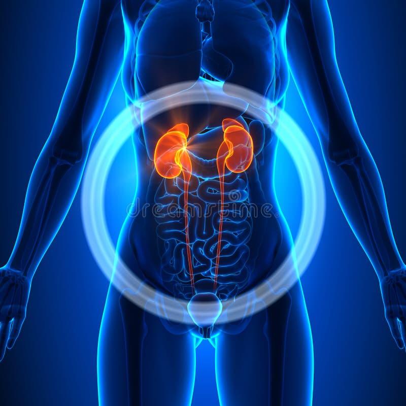 Nieren - Weibliche Organe - Menschliche Anatomie Stock Abbildung ...