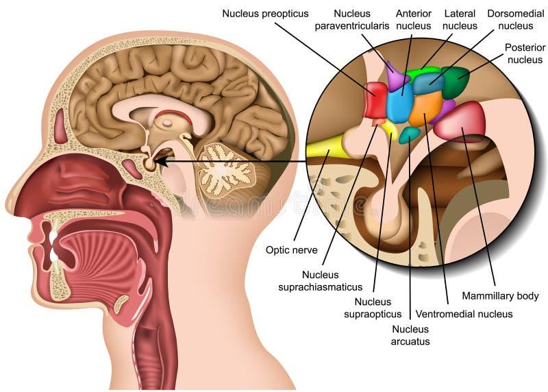 Nierstenen medische 3d vectorillustratie op witte achtergrond royalty-vrije illustratie