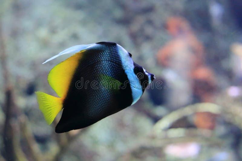 Niesamowicie bannerfish fotografia stock