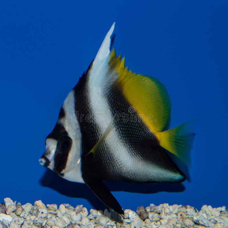 Niesamowicie Bannerfish Heniochus singularis obrazy stock