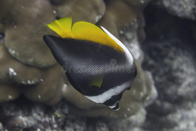 Niesamowicie bannerfish w Andaman morzu (Heniochus singularius) fotografia stock