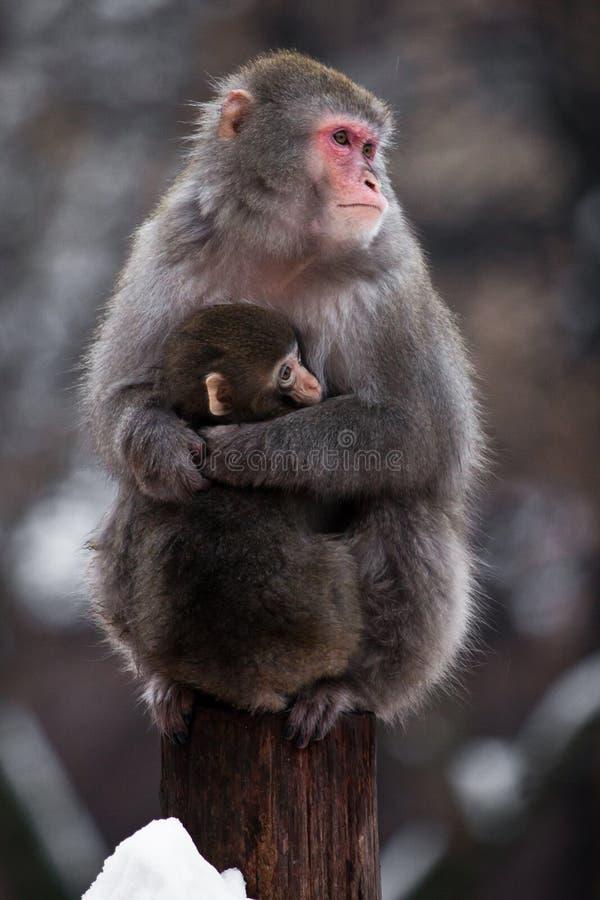 Nieszczęśliwa, absorbująca matka Japoński makak z dzieckiem w zimie, puszysty futerko, czerwona twarz zdjęcia stock