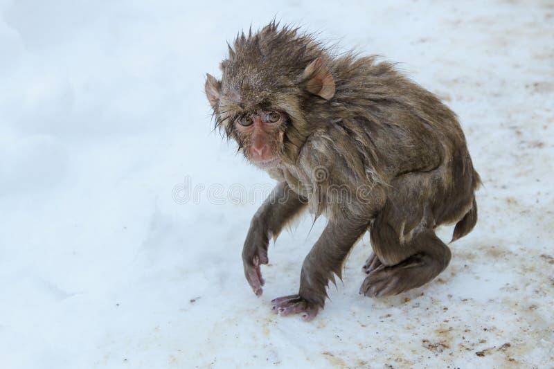 Nieszczęśliwa dziecko śniegu małpa obrazy royalty free