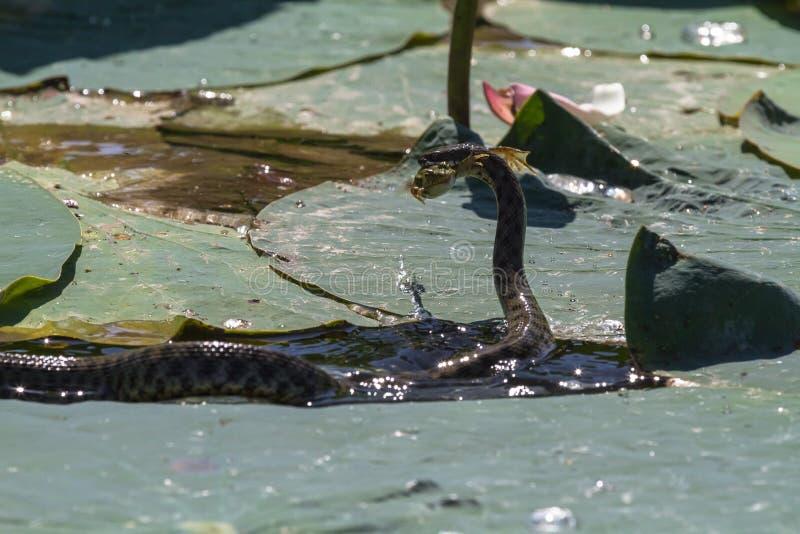 Nieszkodliwy węża polowanie na żabie volkswagen fotografia royalty free