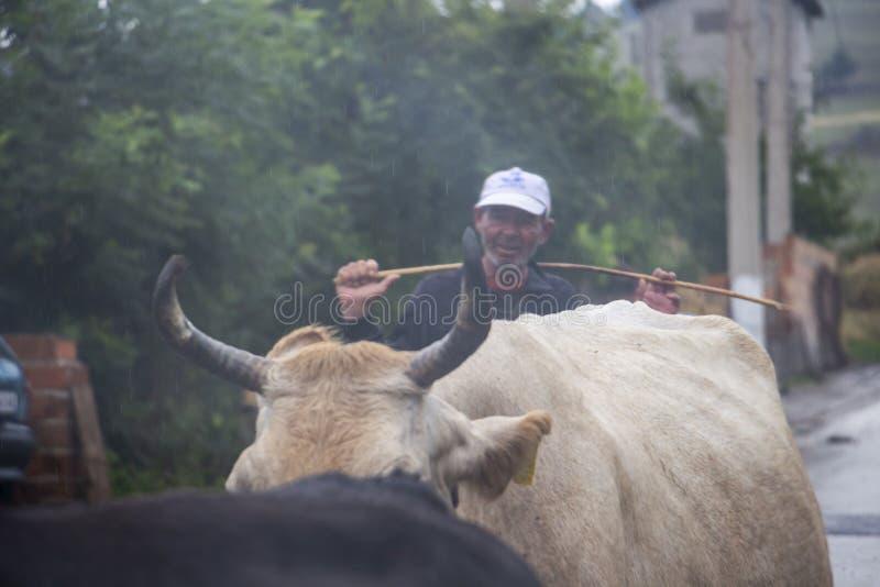 Niet geïdentificeerde cowherd achter een kudde van koeien op een regenachtige Juli-dag in het Bulgaarse Rhodope-Bergendorp van Bu stock afbeelding