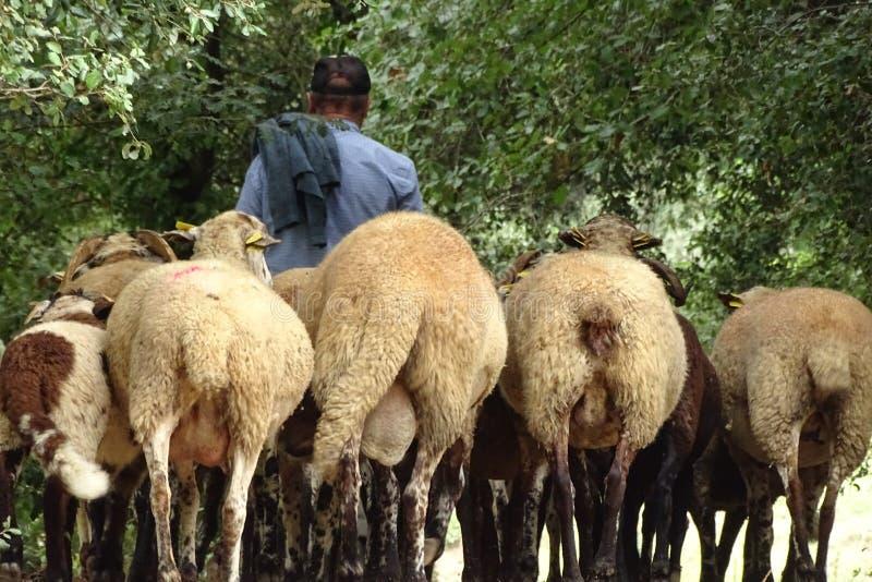 Niet geïdentificeerde Herder met hun schapen royalty-vrije stock afbeelding