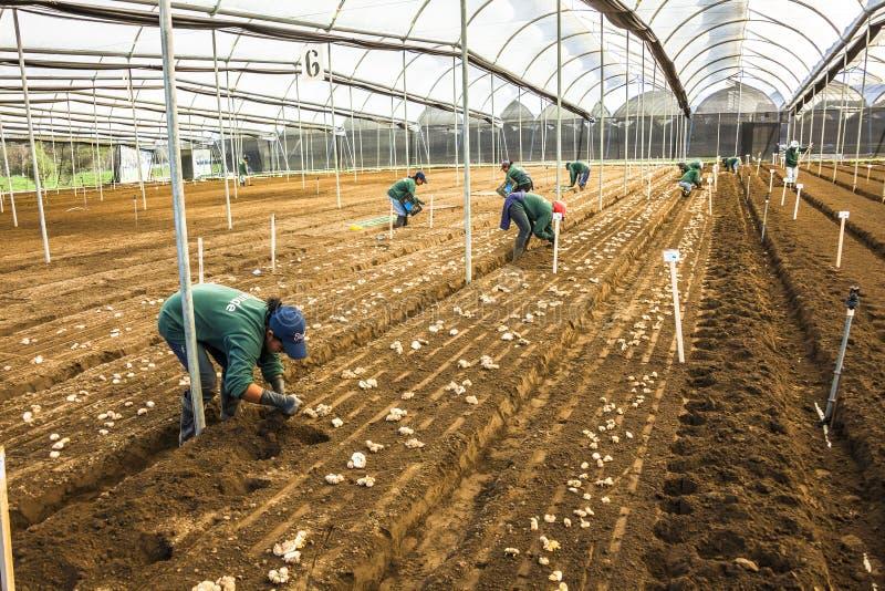 Niet geïdentificeerde tuinlieden, die aardappelscalla lelie planten stock foto