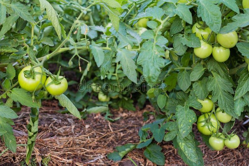 niet rijpe groene kersentomaten in tuin stock foto's