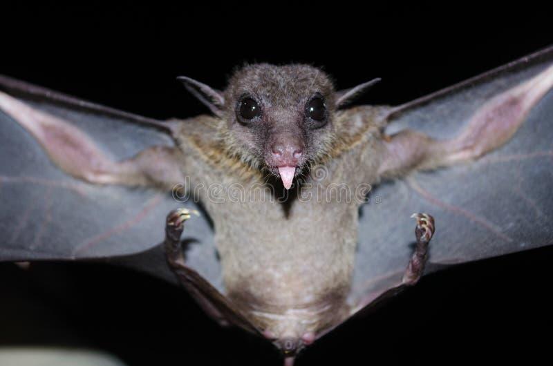 Nietoperz jest ssakiem w nocy obraz royalty free