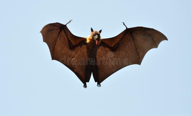 Nietoperz lub latanie pies zdjęcia stock