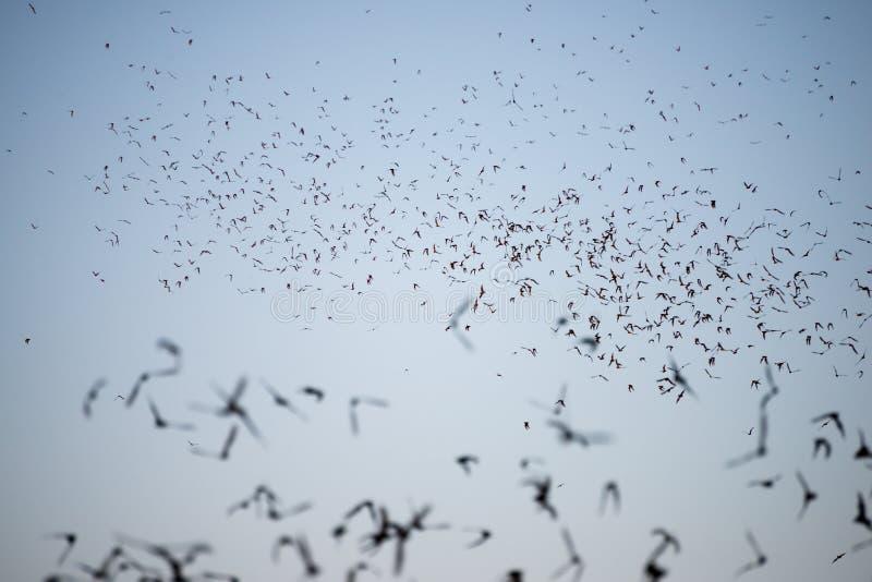 Nietoperze Opuszcza Południową Teksas jamę obrazy stock
