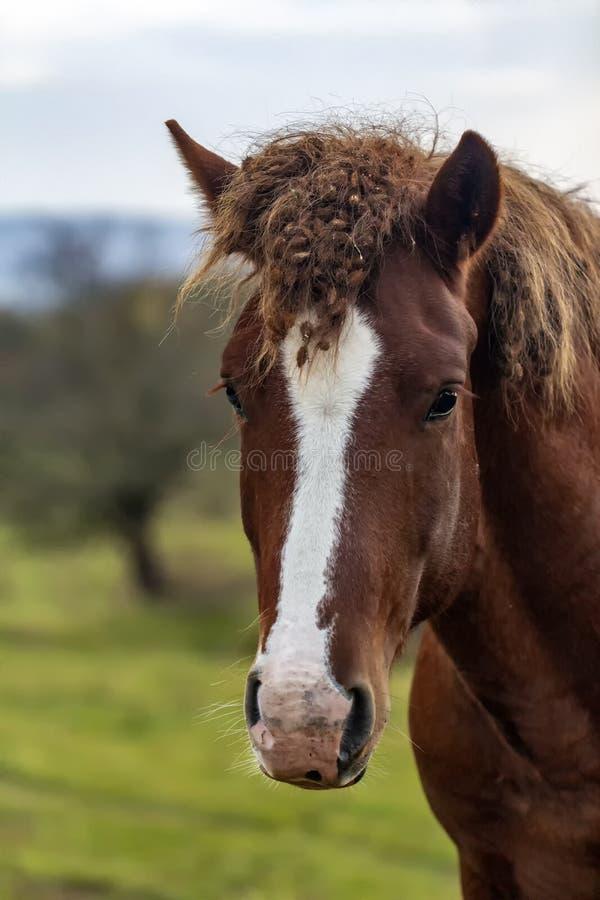 Nieuczesany koń dziki koń Unbrushed uderzenia końscy Portret zdjęcie royalty free
