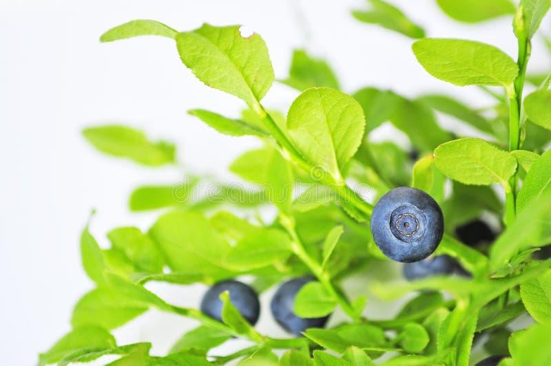 Nieuprawny huckleberry zdjęcie royalty free