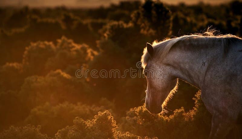 Nieuw Bosponeypaard backlit door zon stock afbeeldingen