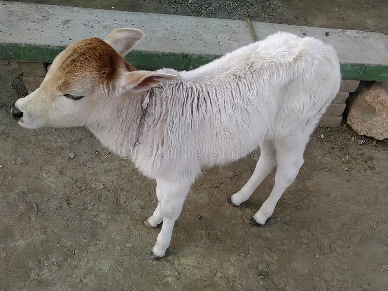 Nieuw - geboren babykoe, royalty-vrije stock afbeelding