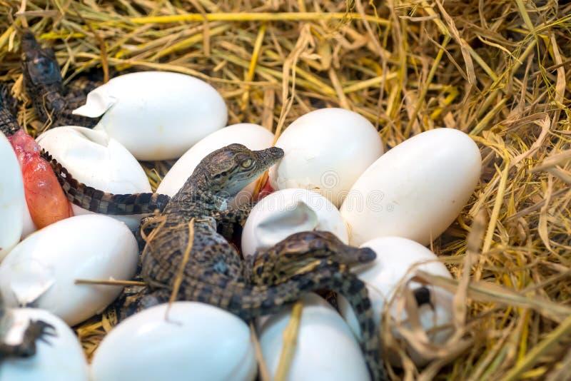 Nieuw - geboren de incubatie uitbroedende eieren die van de Krokodilbaby op het stro liggen stock afbeeldingen