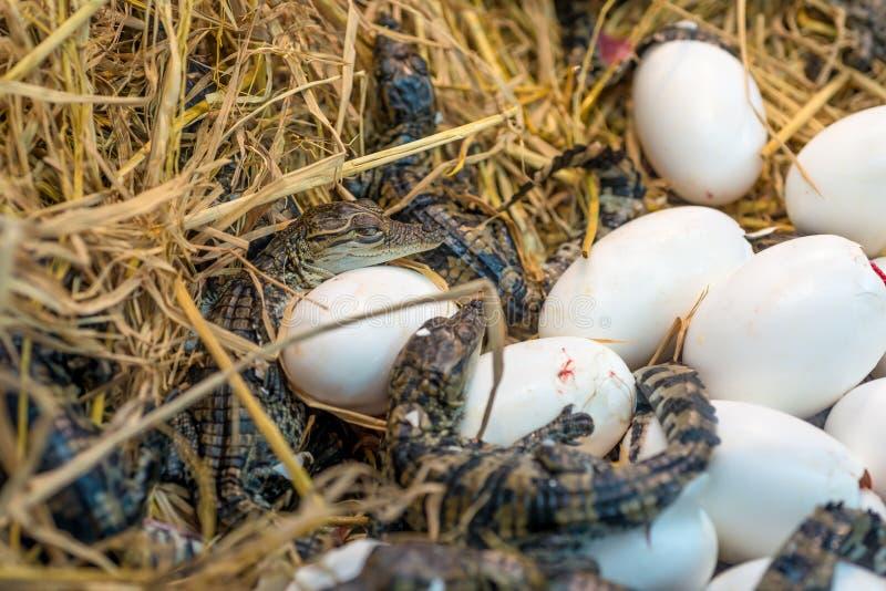 Nieuw - geboren de incubatie uitbroedende eieren die van de Krokodilbaby op het stro liggen stock foto