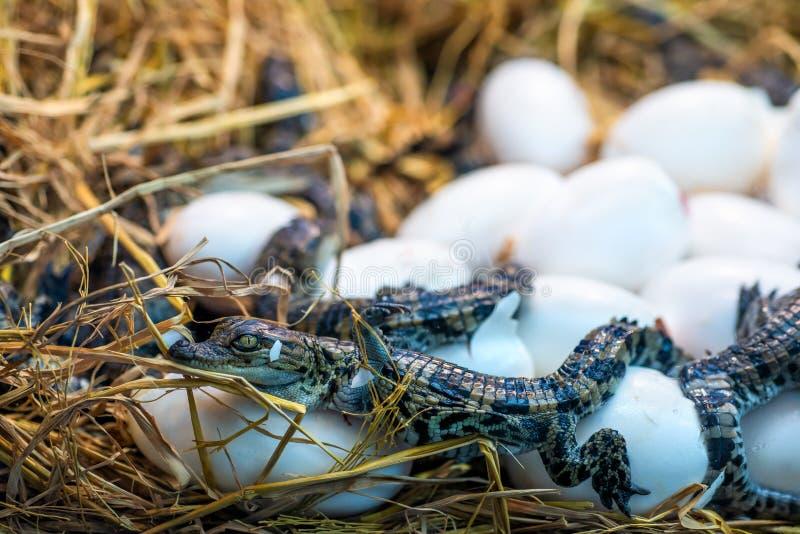 Nieuw - geboren de incubatie uitbroedende eieren die van de Krokodilbaby op het stro liggen royalty-vrije stock afbeelding