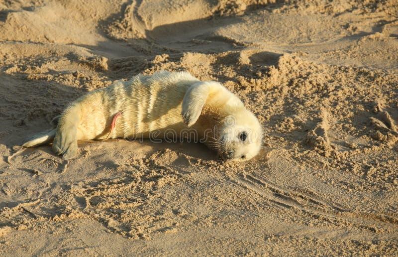 Nieuw - geboren Grey Seal-grypus die van jonghalichoerus op het strand op een zonnige dag in Horsey, Norfolk, het UK liggen royalty-vrije stock foto's