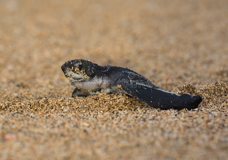 Nieuw - geboren Leatherback-Zeeschildpad royalty-vrije stock fotografie