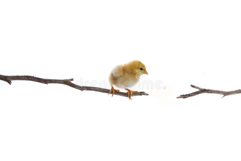 Nieuw - het geboren kuiken op de tak van de dagboom probeert om aan een andere kant geïsoleerde witte achtergrond te springen stock afbeelding