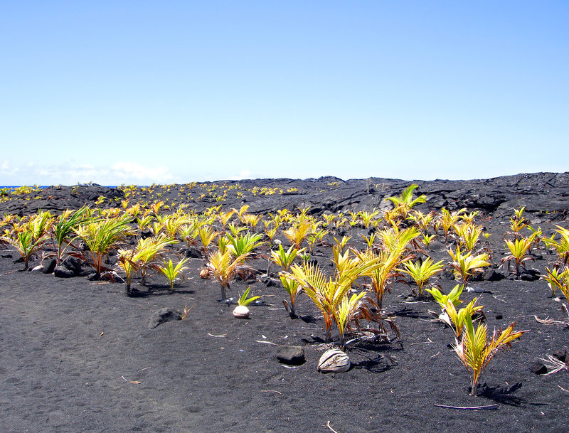Nieuw kokosnotenbosje, Groot Eiland, Hawaï stock fotografie